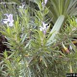 Romarin - Rosmarinus officinalis