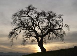 30110-oldest_tree_world
