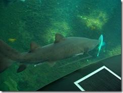 2012.08.05-026 requin