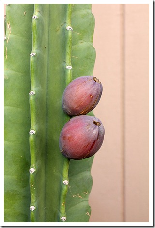 111022_Cereus-hildmannianus01