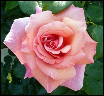 08c2 - Marginal Way - Roses