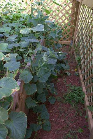 Wild Cucumbers Aug 8