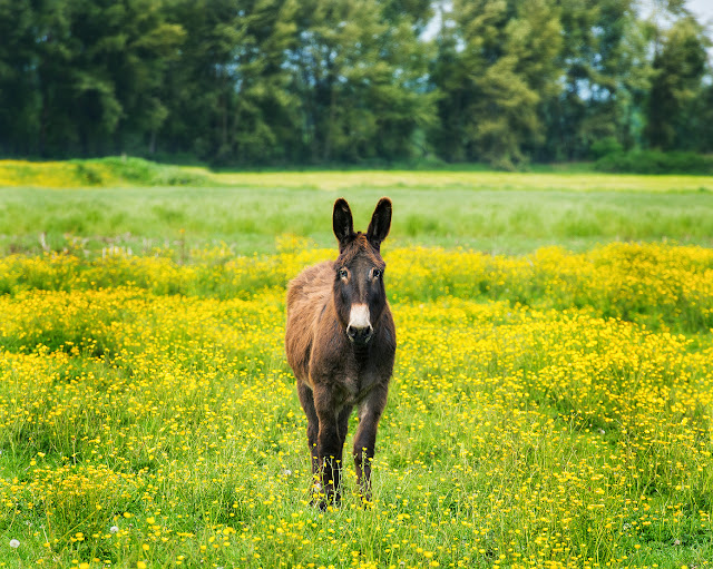 May/June 2014 - 3rd Place - Adorable Donkey in Lynden / Credit: Michelle Rainey