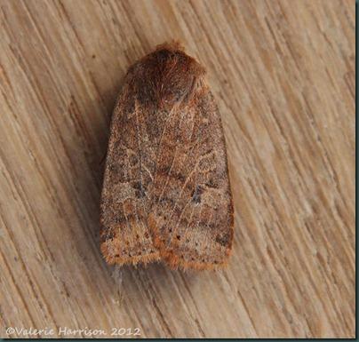 chestnut (4)
