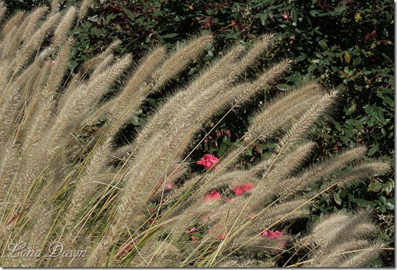 FPC_Pennisetum_Grass2