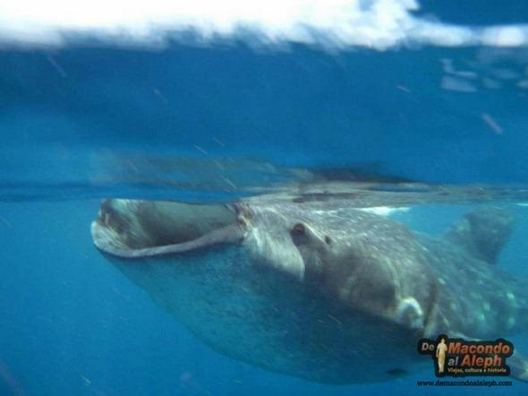 Viajar a Isla Holbox Nadar con el Tiburon Ballena 11