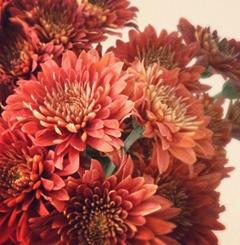 #Autumnal #chrysanthemums