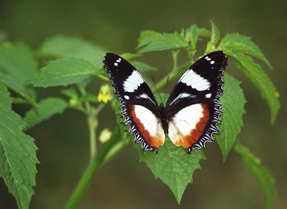 Hypolimnas dexithea HEWITSON, 1863, endémique. Parc de Mantadia-Andasibé (Périnet, 100 km à l'est d'Antananarivo), 2001. Photo : Alexandre