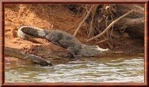Amazing Pictures of Animals, Photo, Nature, Incredibel, Funny, Zoo, West African, crocodile desert crocodile, Crocodylus suchus, Alex (8)