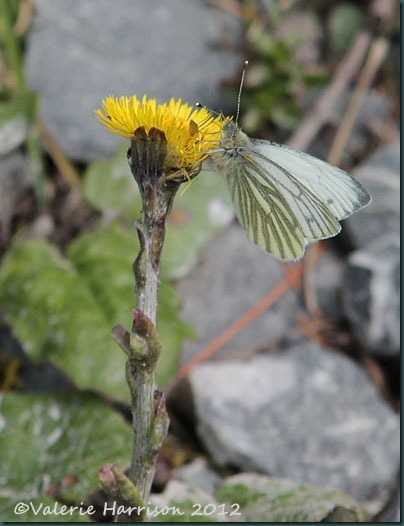 21-green-veined-white-on-coltsfoot