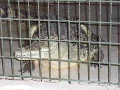 2009.05.22-033 crocodile