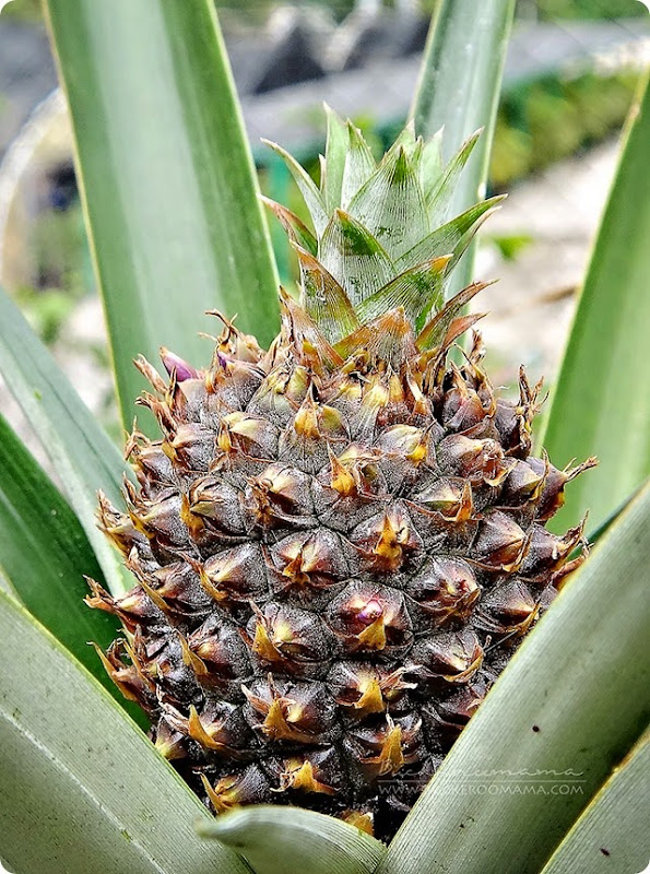 Baby-pineapple-(1)