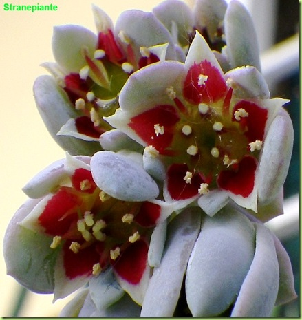 Pachyphytum oviferum fiori