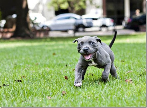 Determined Pit Pup Harper, Rescued from Trash Bag, Learns to Walk