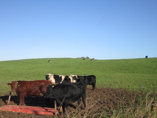 cows 737