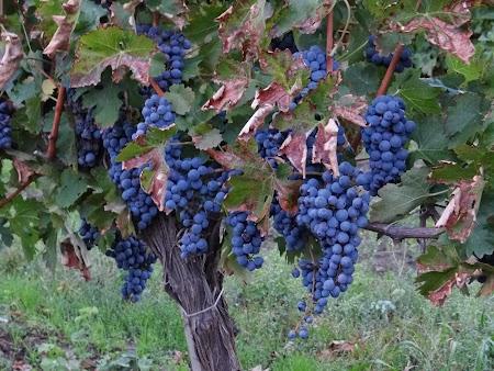 Basarabia - Drumul Vinului: Struguri in parg
