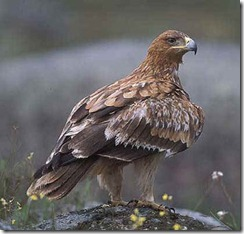 Aguila imperial iberica 2