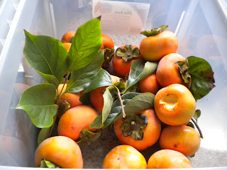 Start off with a bunch of persimmons. Our dehydrator can fit about 5 at a time sliced up.