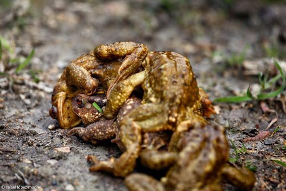 Gripau comú (Bufo spinosus), amplexus (còpula). Barranc de Cassear, Muntanyes de Vandellòs. Vandellòs - Hospitalet de l'Infant, Baix Camp, Tarragona