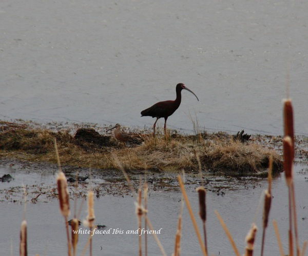 White faced Ibis and friend