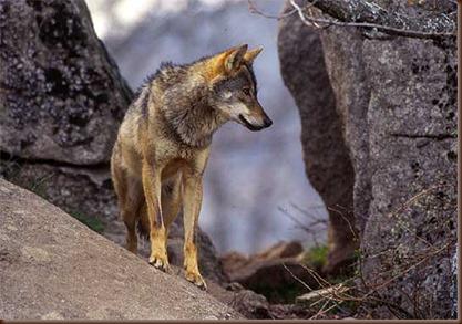 Lobo iberico (2)