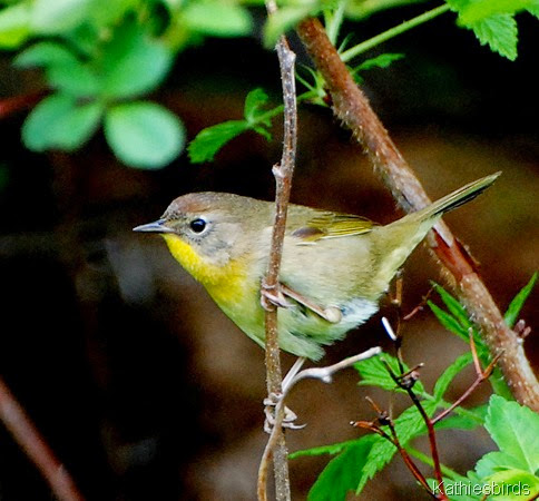6. female common yellowthroat-kab