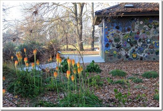130117_UCDA_Kniphofia-in-bloom