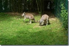 2011.07.26-028 kangourous géants
