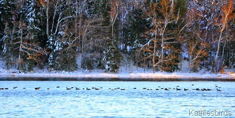 21. 11-29-14 geese and ducks-kab