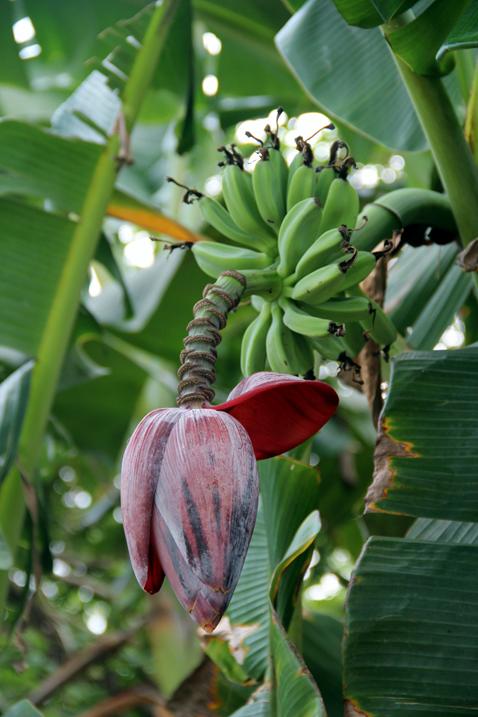 bananträd