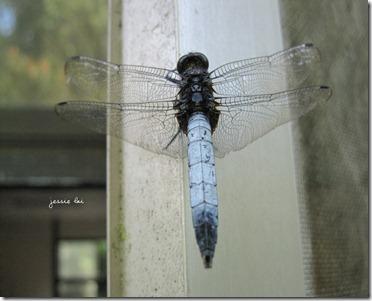 鼎脈蜻蜓1