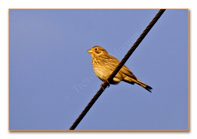 Local Birds 3  Corn Bunting 1