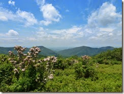 Mountain Laurel blooms along Skyline Drive