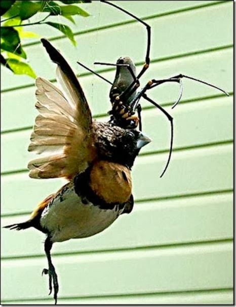 australia-scary-spiders-012
