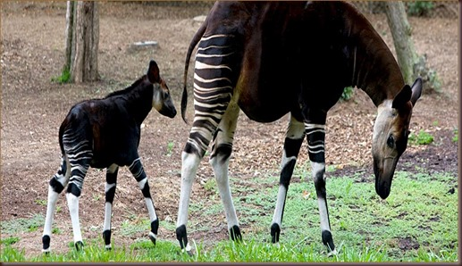 Amazing Animal Pictures Okapi (12)