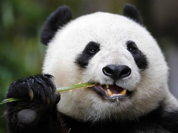 7- Panda