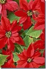 flor de natal vermelha