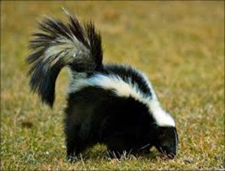 Amazing Pictures of Animals, Photo, Nature, Incredibel, Funny, Zoo, Skunks, Polecats, Mammals, Alex (12)
