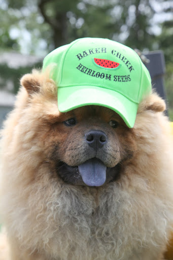 I'll just borrow this hat from the greenhouse.  I could really go for some cool and juicy watermelon right about now.