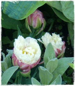 tulipa ice cream