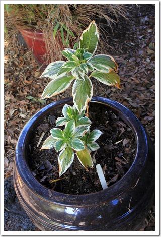 130310_Hydrangea-macrophylla-Tricolor_02