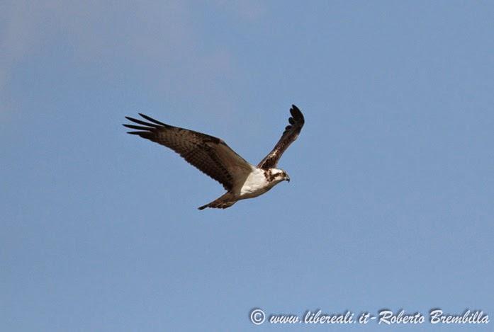 1_Falco pescatore_Pian di Spagna (4)