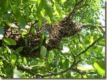 July swarm