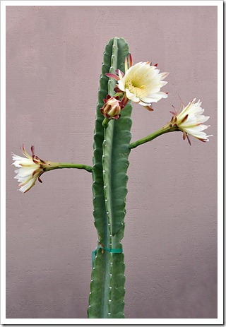 110816_Cereus-hildmannianus-subsp-hildmannianus-3-flowers_14
