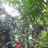 Pulau Sengloiでのヤシの採集 / Collecting palm fruit atPulau Sengloi
