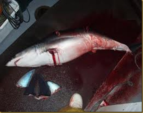 tiburon amputado