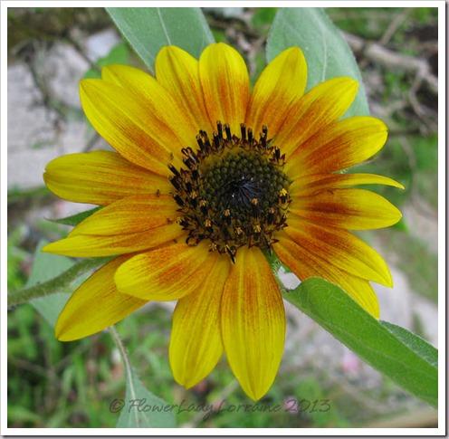 06-23-sunflower3