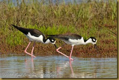 Black-necked Stilt  _ROT4284   NIKON D3S June 04, 2011