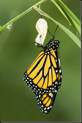 butterfly-and-cocoon1