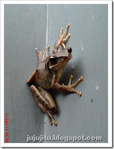Polypedates leucomystax_Katak Pohon Bergaris_Stripped Tree Frog 5